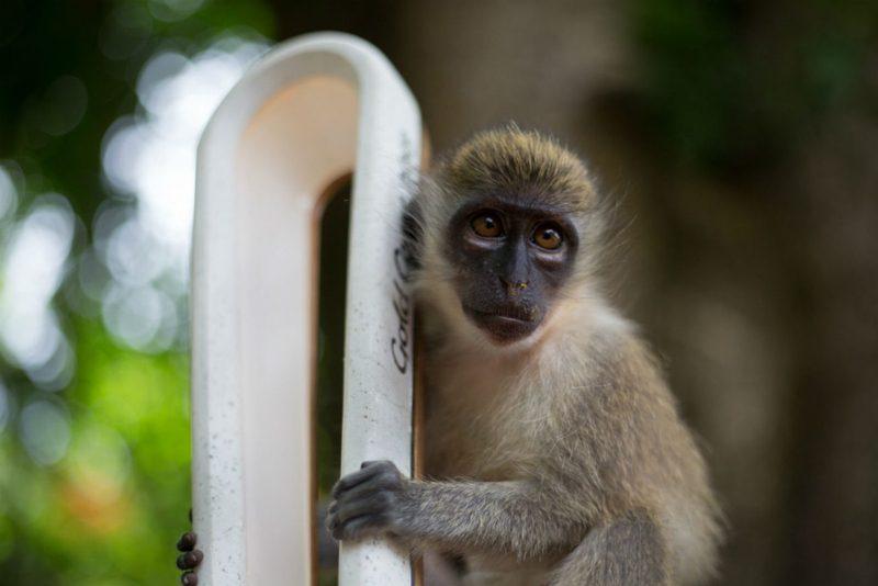 A Green Vervet monkey poses with the Baton