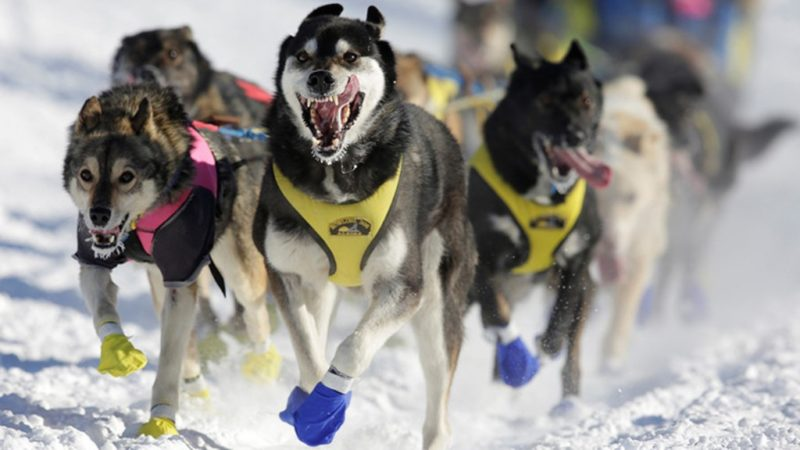 Iditarod race doping scandal